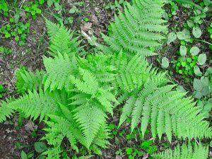 Morphogenetische Felder lassen sich durch die Pflanzenwelt am Beispiel von Farnen belegen